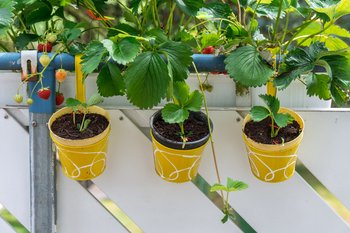 Strawberries - young plants
