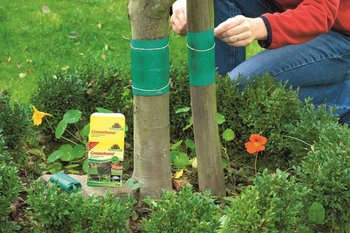 Greaseband: excellent protection against ants in trees
