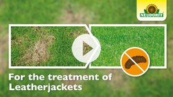 How to apply LeatherjacketFree Nematodes