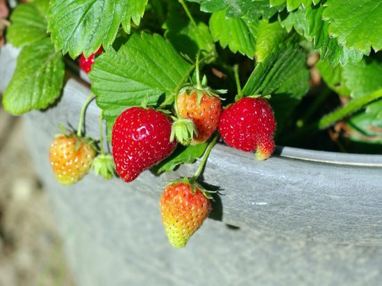 Growing strawberries also works on the balcony