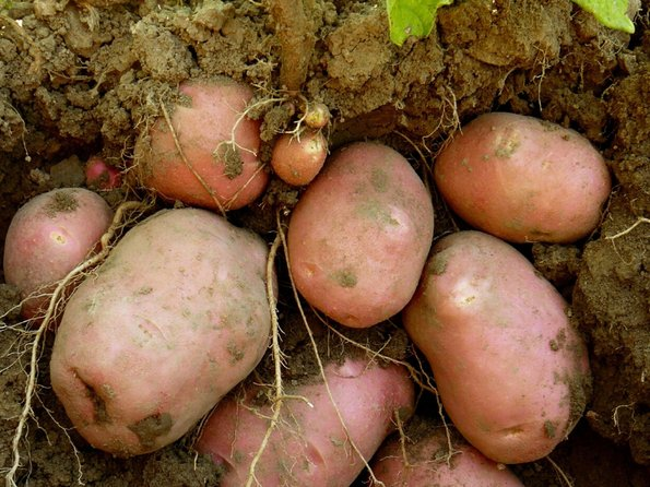 Further care: After the first growth phase of the potatoes, refill soil