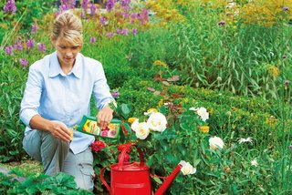 Feed your roses easily while watering them: with the liquid Organic Rose Feed