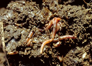 Mulch Compost provides the best earthworm food and loosens the soil.
