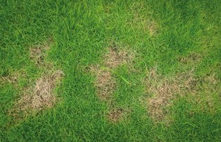 Brown patches may be caused by invisible pests