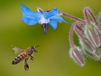 Wild bees & other beneficials