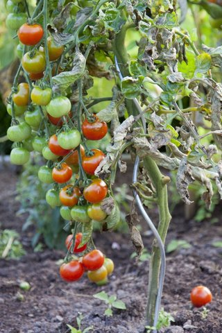 Late blight: a common fungal disease on tomatoes