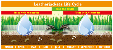 When to use LeatherjacketFree Nematodes