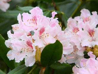 Rhododendron care