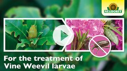 How to apply VineWeevilFree Nematodes