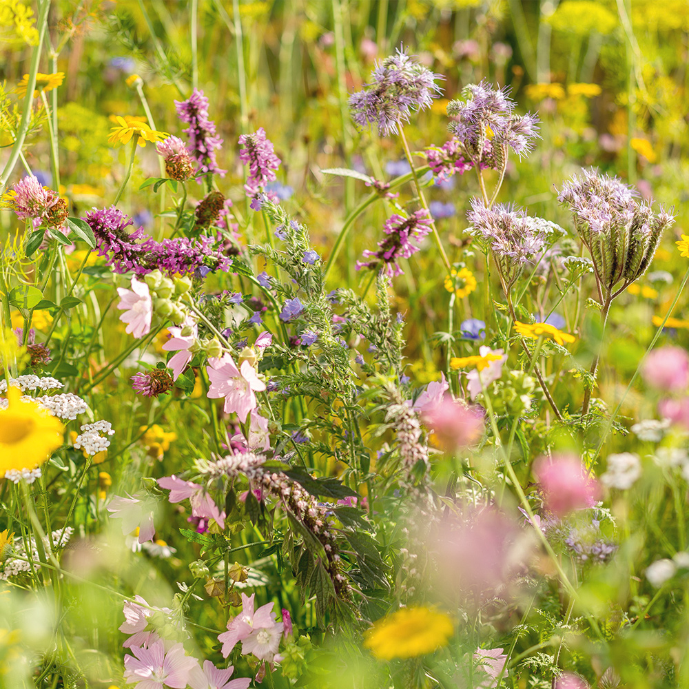 Sow wild flowers to attract beneficial insects now
