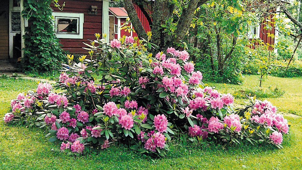 Neudorff rhododendron care for How to care for rhododendrons after blooming