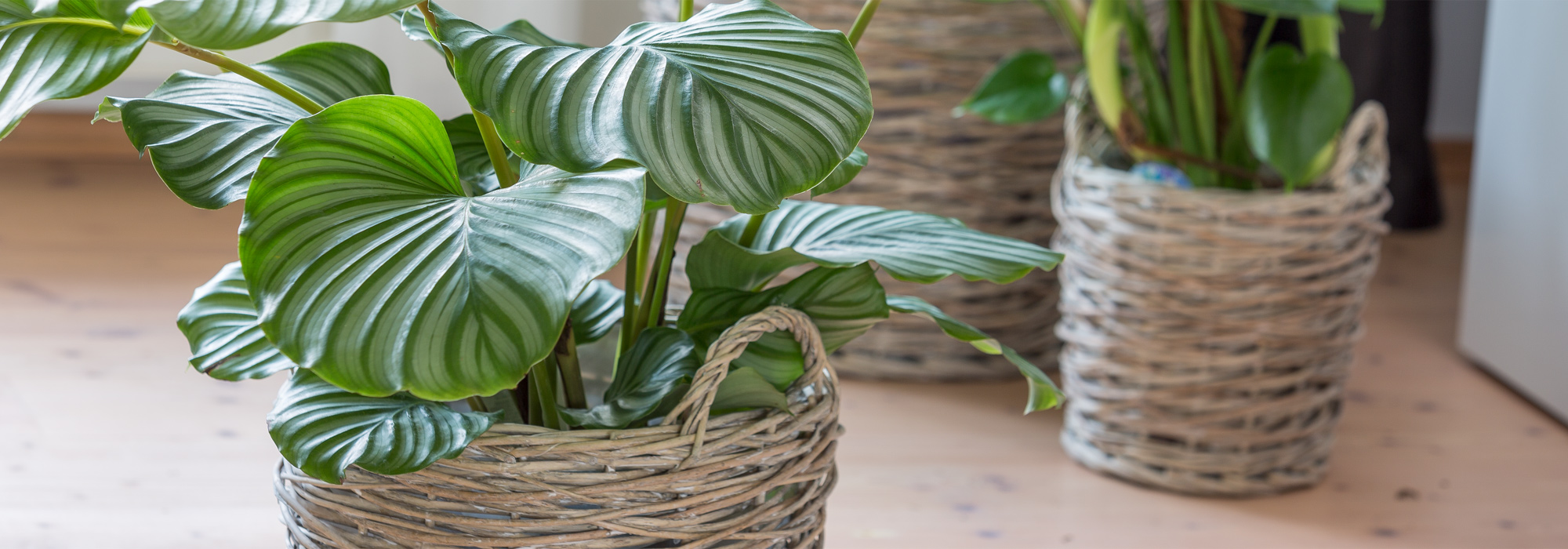 Care for your potted plants in winter